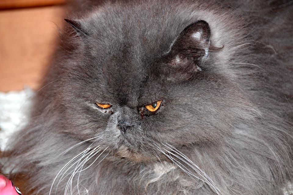 Cat, Furry, Animals, Cute, Fluffy Cat, Pet, Fur, Grey