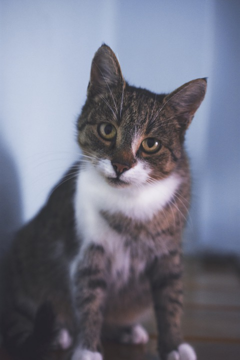 Kitten, Cat, Animal, Mammal, Tiger, Pet, Fur, Portrait