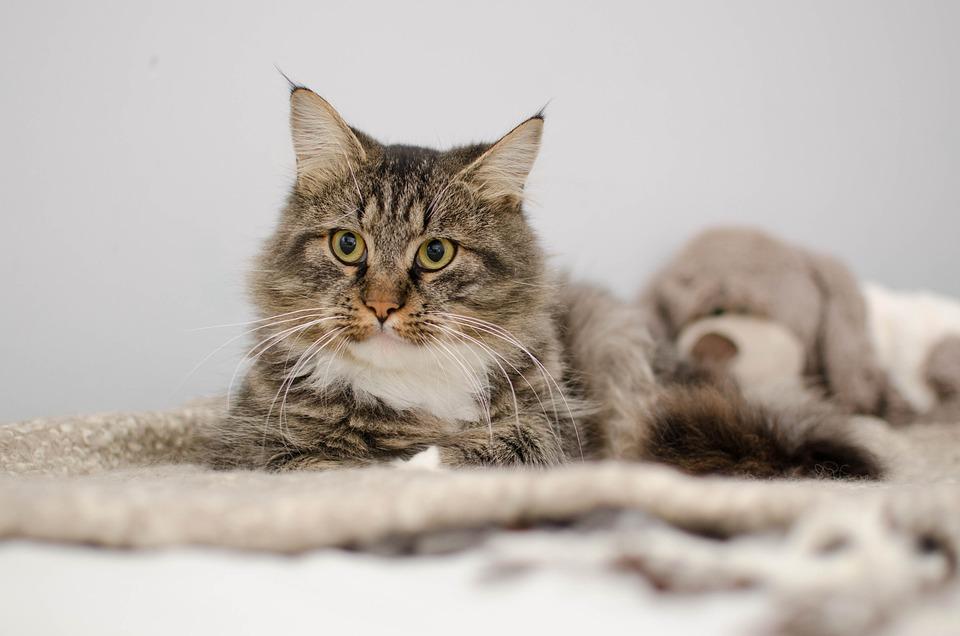 Cat, Thoroughbred, Fur, Portrait, Fluffy