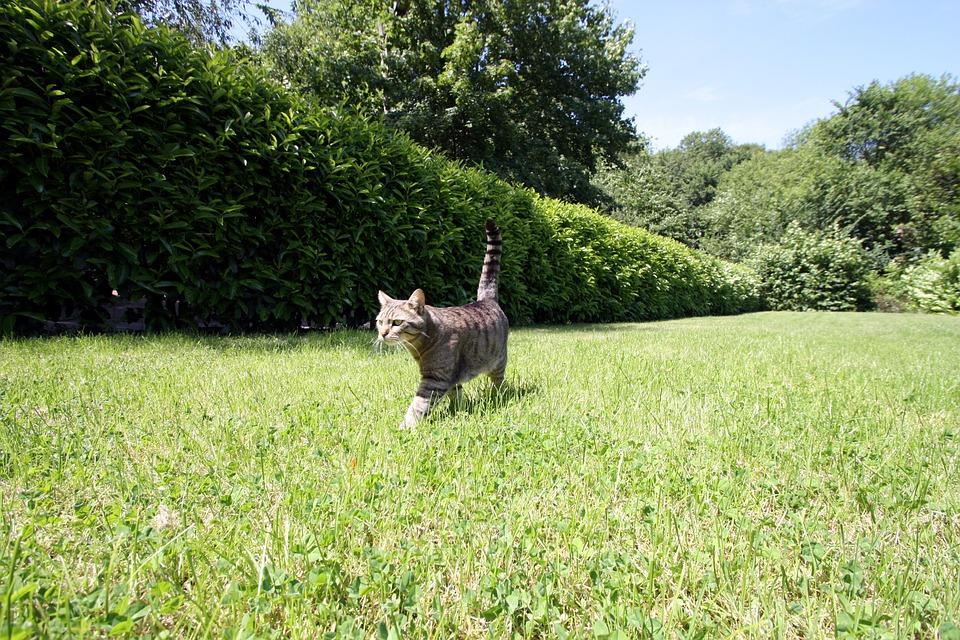 Domestic Cat, Cat, Garden, Hunt