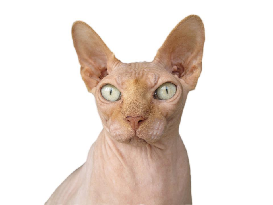 Sphynx, Cat, Race Cat, Bald, Hairless, Hangover, Cats
