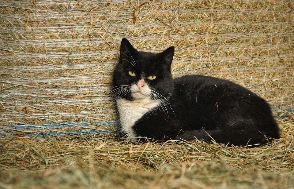 Cat, Hay Bales, Straw, Black, White, Farm, Barn, Wild