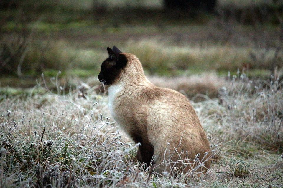 Siamese Cat, Winter, Cat, Frost, Hoarfrost, Ice