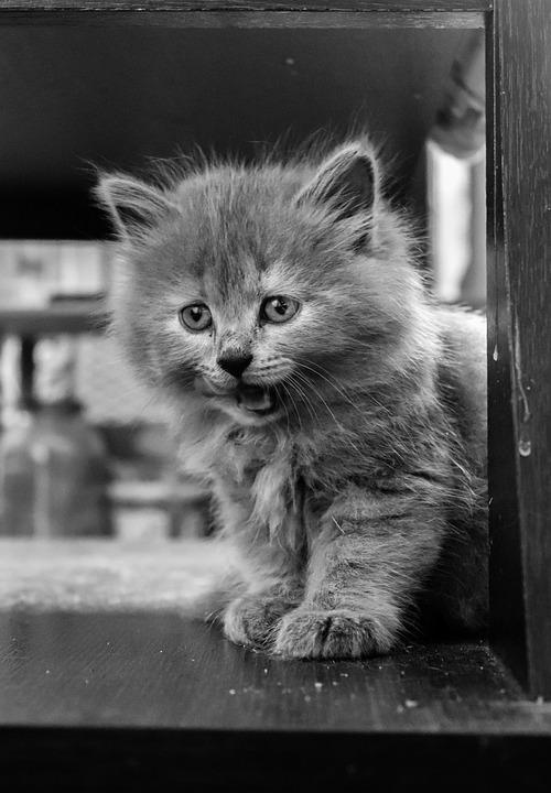 Kitten, Cat, Bw, Cat In The Village