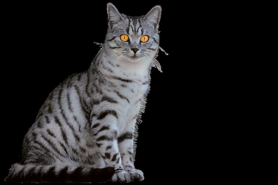 Cat, Domestic Cat, Animal Portrait, Isolated