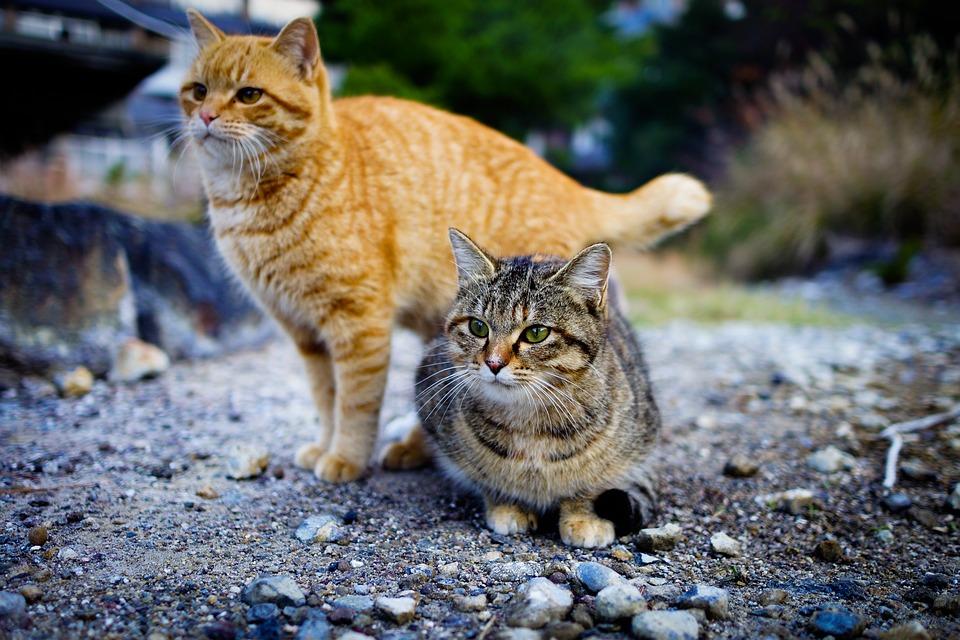 Cat, Japan, Animal, Kitten