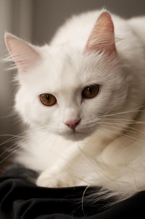 Cat, Cute, Animal, Pet, Kitten, Adult, White
