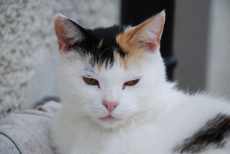 Cat, Black And White, Kitten, Animals, Fur, Face