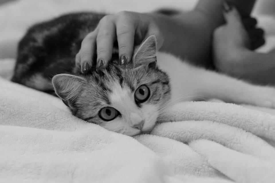 Cat, Smooch, Domestic Cat, Cat Face, Kitten, Cute, Dear