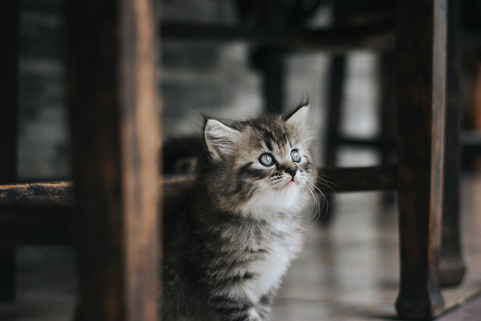 Cat, Pet, Kitten, Cute
