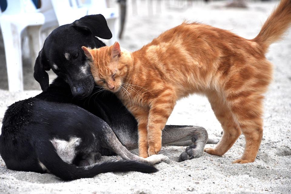 Dog, Cat, Animals, Domestic, Gata, Kitten, Animal