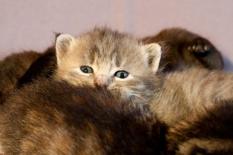 Kitten, Cat, Hair