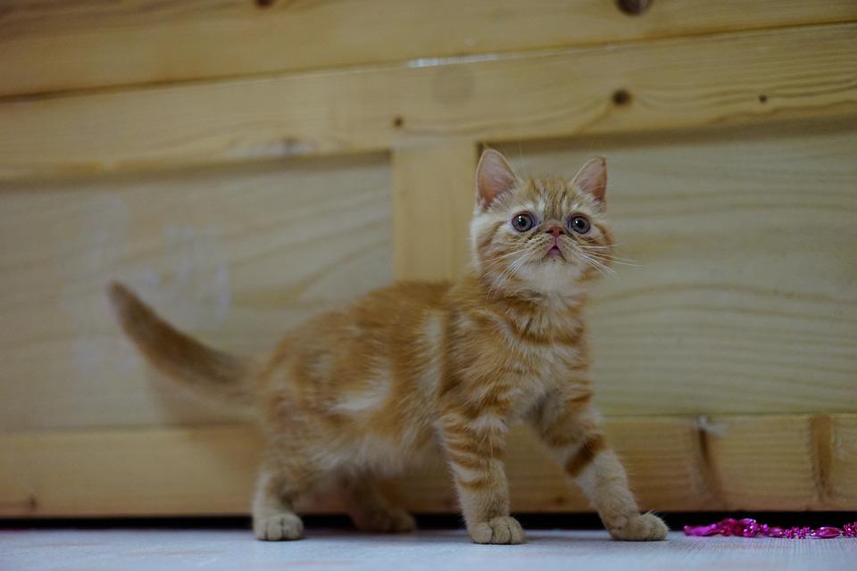 Cat, Exotic, Shorthair, Pet, Orange, Cute, Kitten