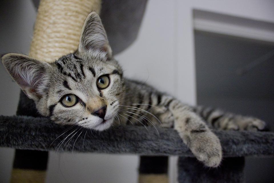 Cat, Kitten, Animals, Cats, Pets, Striped Cat, Cute