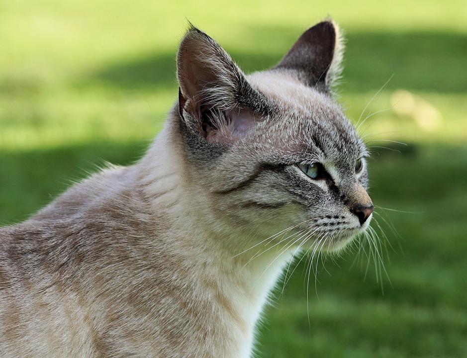 Cat, Domestic Cat, Kitten, Mieze, Adidas, Tiger Cat