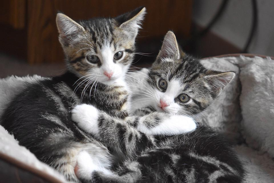 Cat, Kittens, Kitten, Domestic Cat, Pet, Cute, Playful