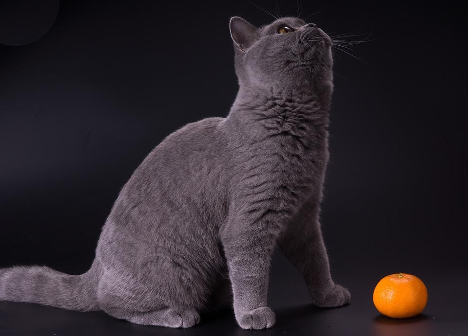 Cat, Kittens, Pet, Grey, Kitten, Tangerine