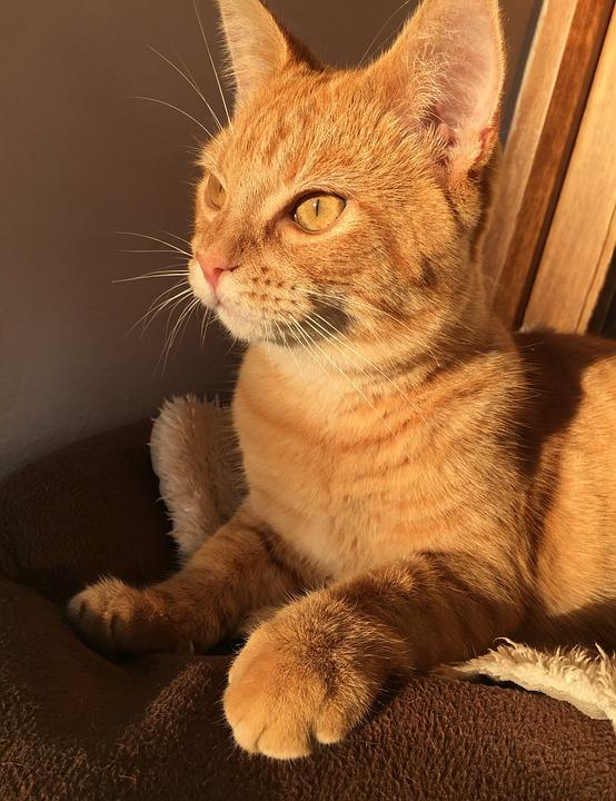 Cat, Kitten, Kitty, Feline, Pet, Cute, Animal, Eyes