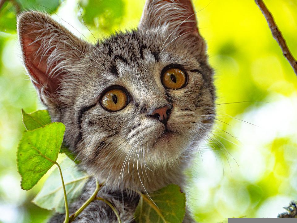 Cat, Kitten, Tabby Cat, Kitty, Young Cat, Pet