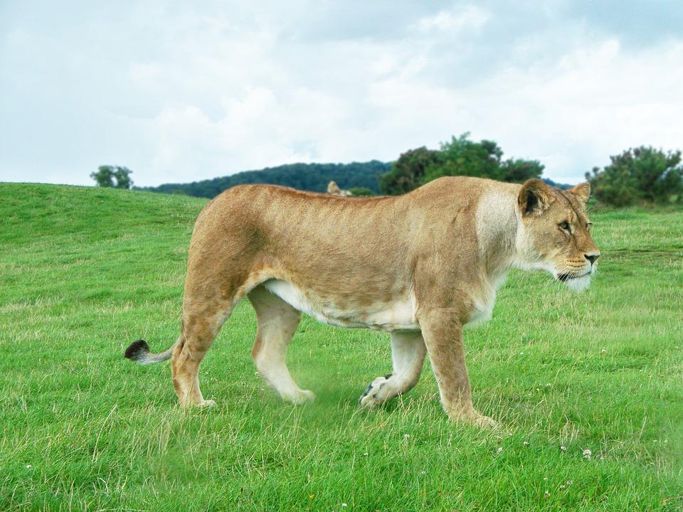 Lion, Lioness, Female, Panthera Leo, Cat, Mammal
