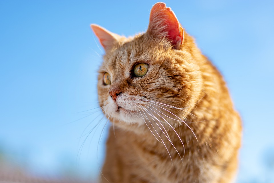 Cat, Roux, Old, Look, Profile, Animal, Feline