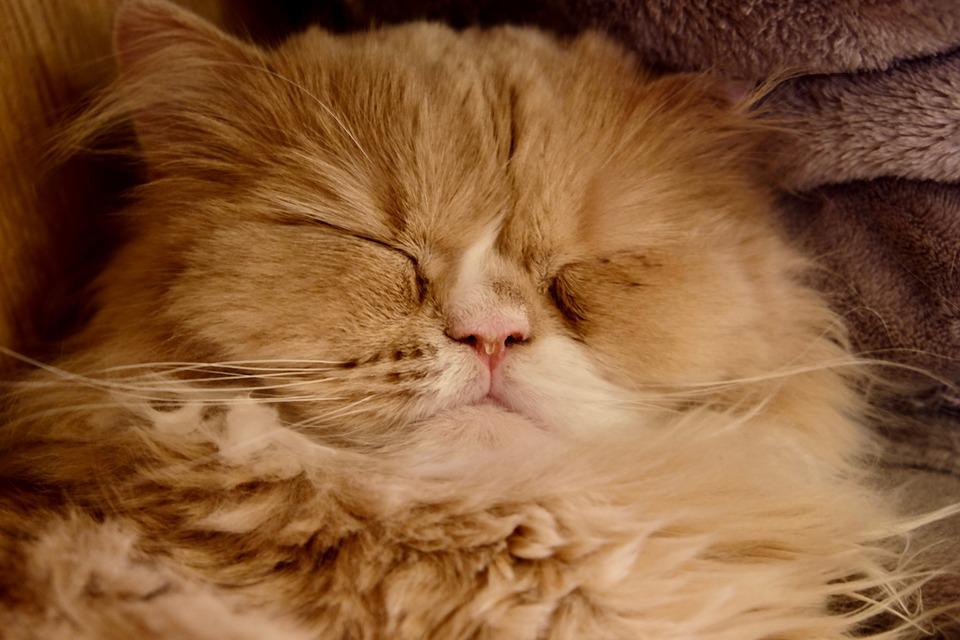 Cat, Sleeping, Big, Face, Nose, Lovely