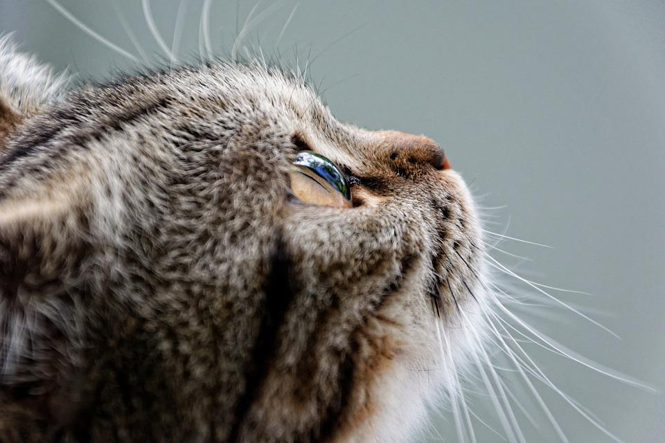 Cat, British Shorthair, Breed Cat, Luna, Mackerel
