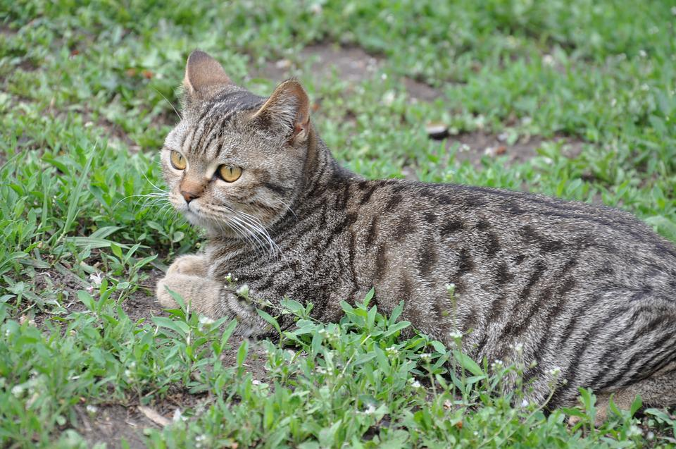 Cat, A Cat Lying On The Grass, Lying On The Grass