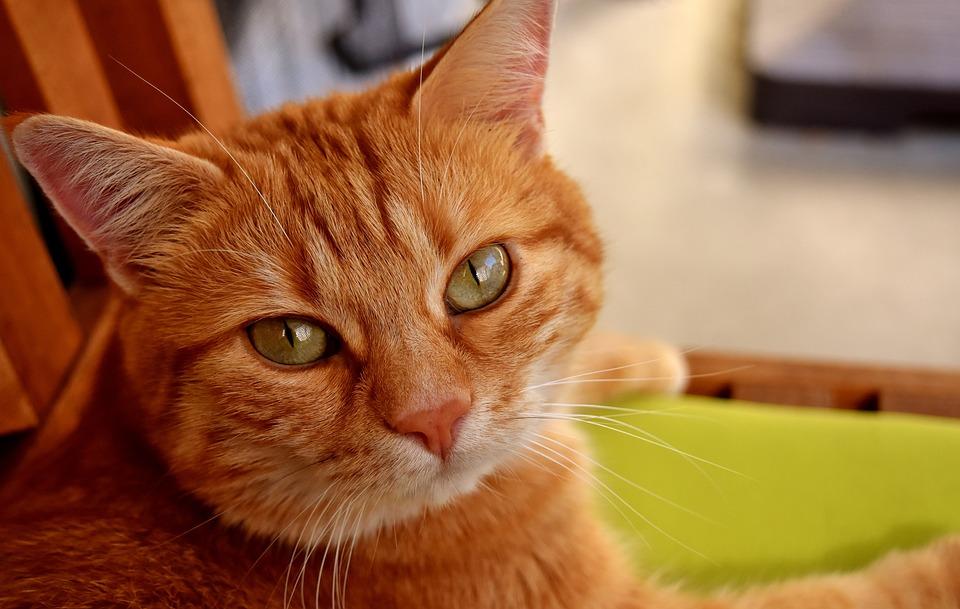 Cat, Mackerel, Photograph, Wildlife Photography