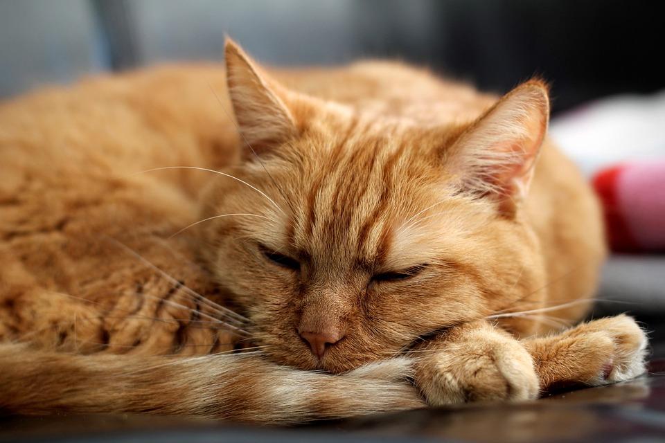 Cat, Red Cat, Kitten, Pet, Red, Sleep, Sofa, Mackerel