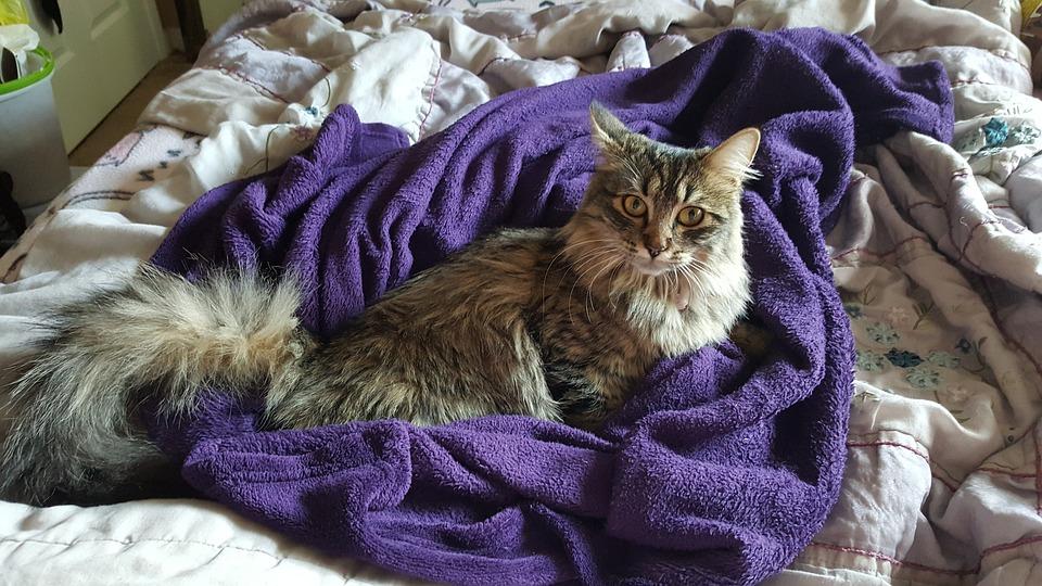 Maine Coon, Cat, Fur