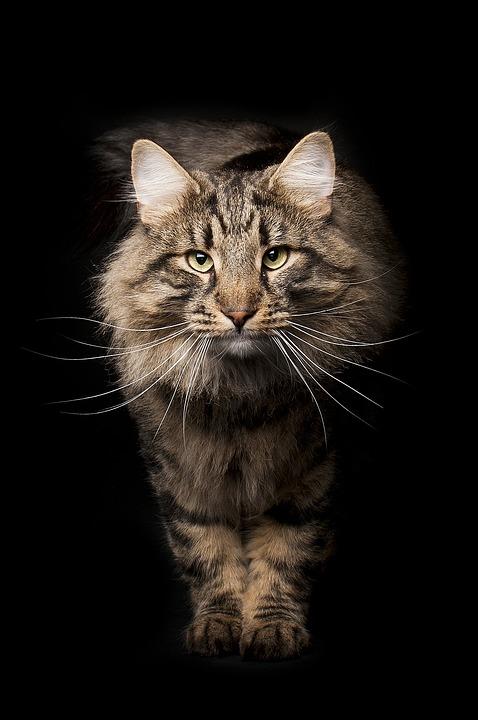 Cat, Mammal, Cute, Animals