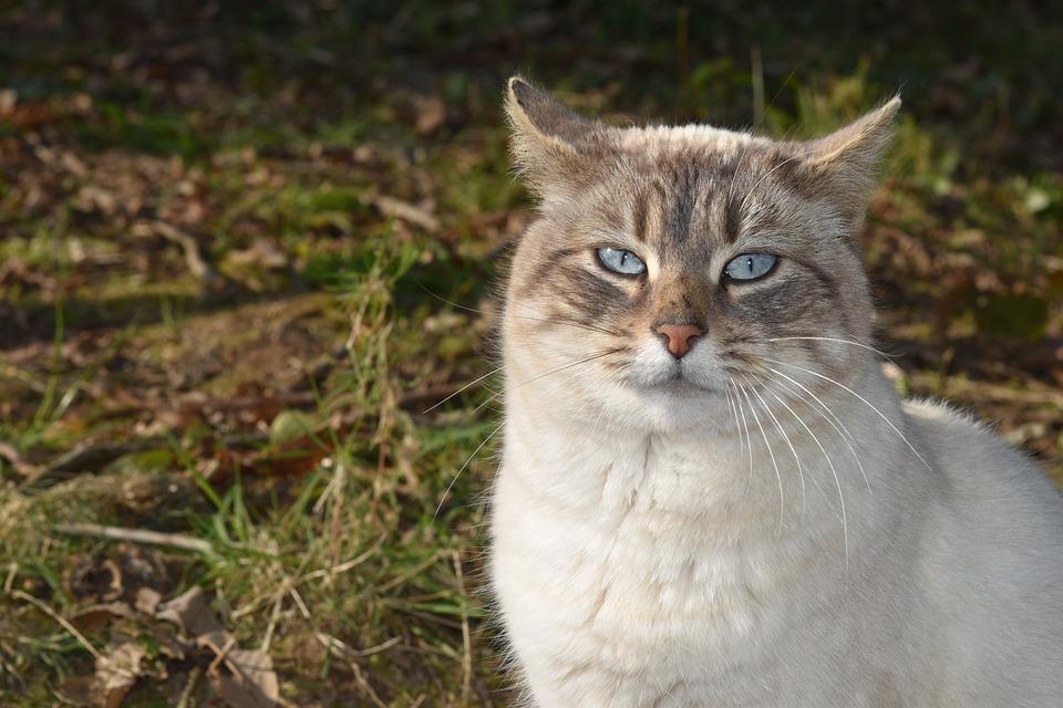 Cat, Pussy, Blue Eyes, Female, Animal, Whiskers, Matou