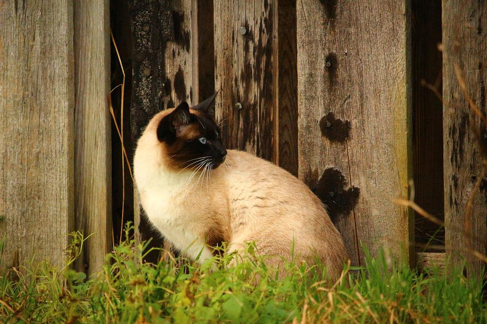 Cat, Siamese Cat, Wooden Wall, Breed Cat, Mieze