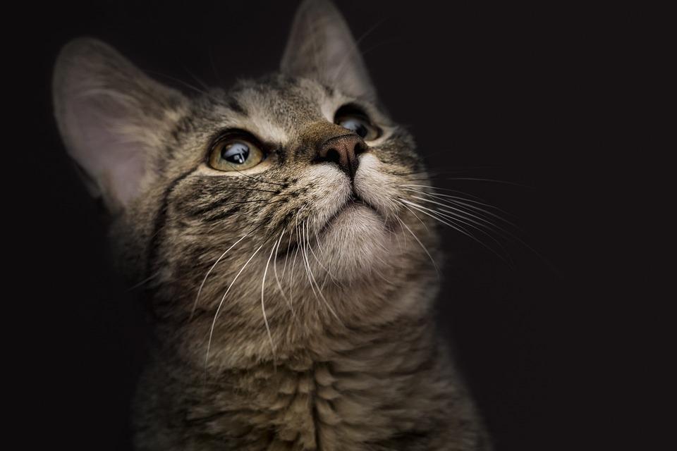 Cat, Animal, Kitten, Nice, Predator, Mustache, The Nose