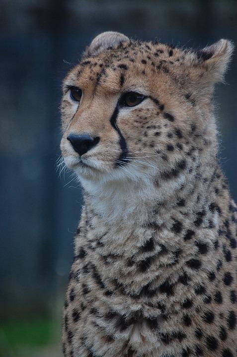 Cheetah, Big Cat, Feline, Mammal, Animal, Cat, Nature