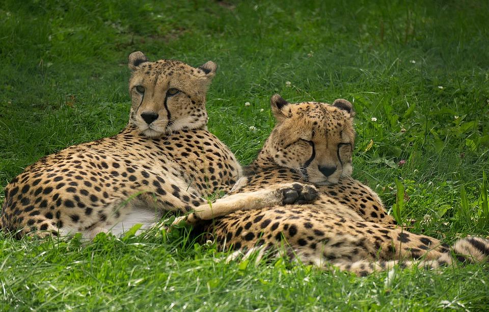 Animal World, Mammal, Cheetah, Cat, Nature, Predator