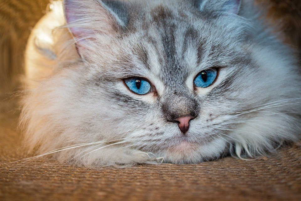 Cat, Siberian Forest Cat, Blue Eye, Neva Masquarade