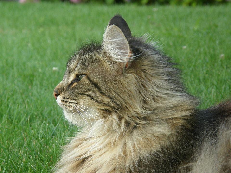 Cat, Pet, Portrait, Norwegian Forest Cat, Animal