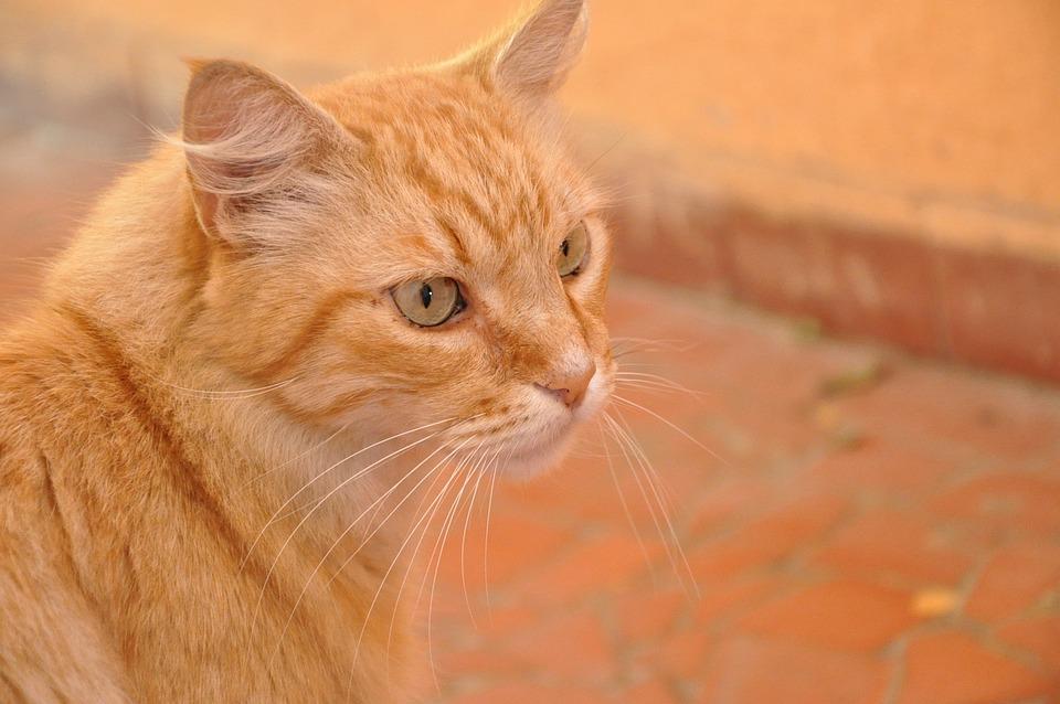 Cat, Orange, Pet