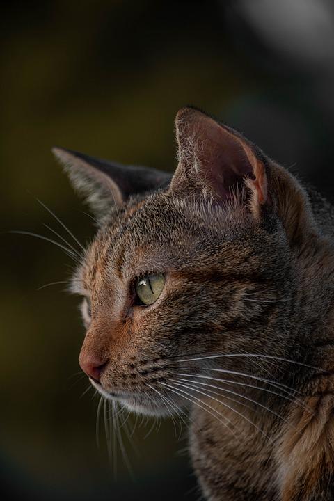 Cat, Pet, Animal, Tabby Cat, Mackerel Cat, Domestic Cat