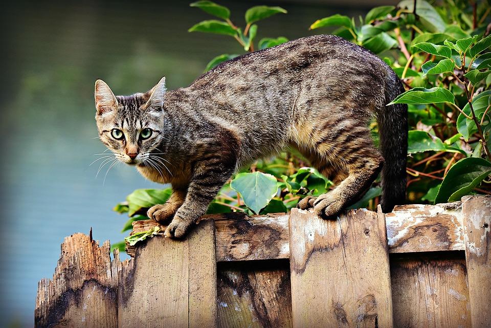 Cat, Animal, Mackerel, Feline, Pet, Domestic, Fur, Head