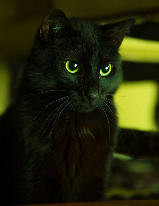 Cat, Black, Pet, Hangover Watched, Short Hair