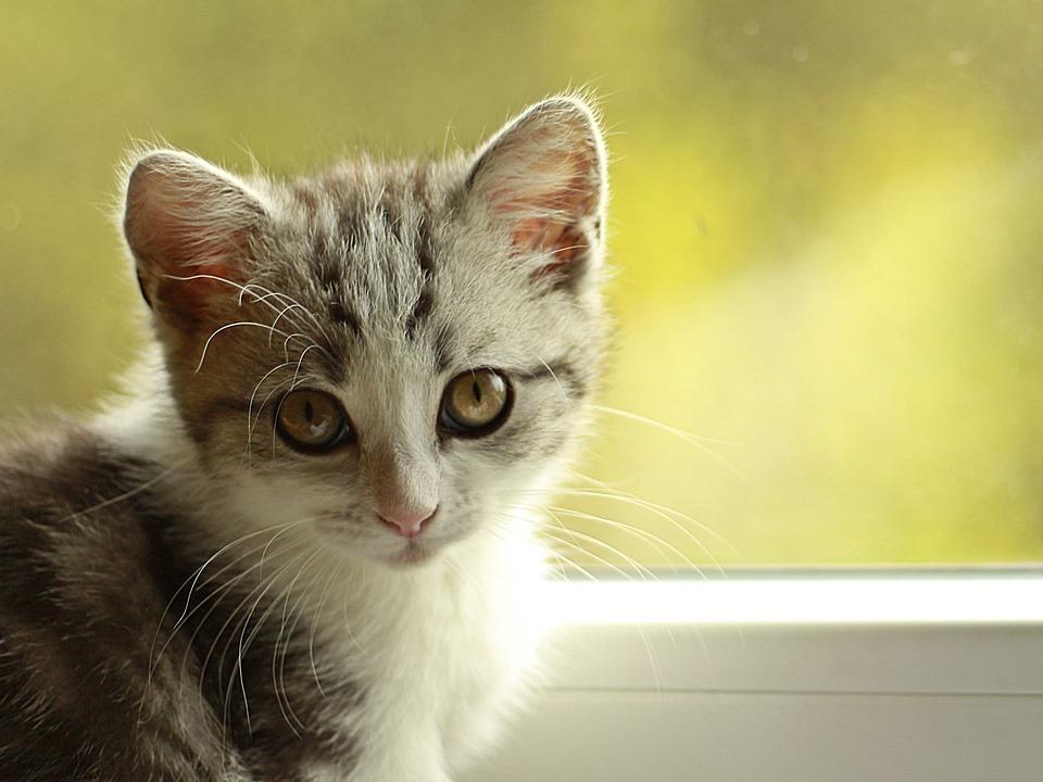 Cat, Kitten, Puppy, Playful, Young Cat, Pet