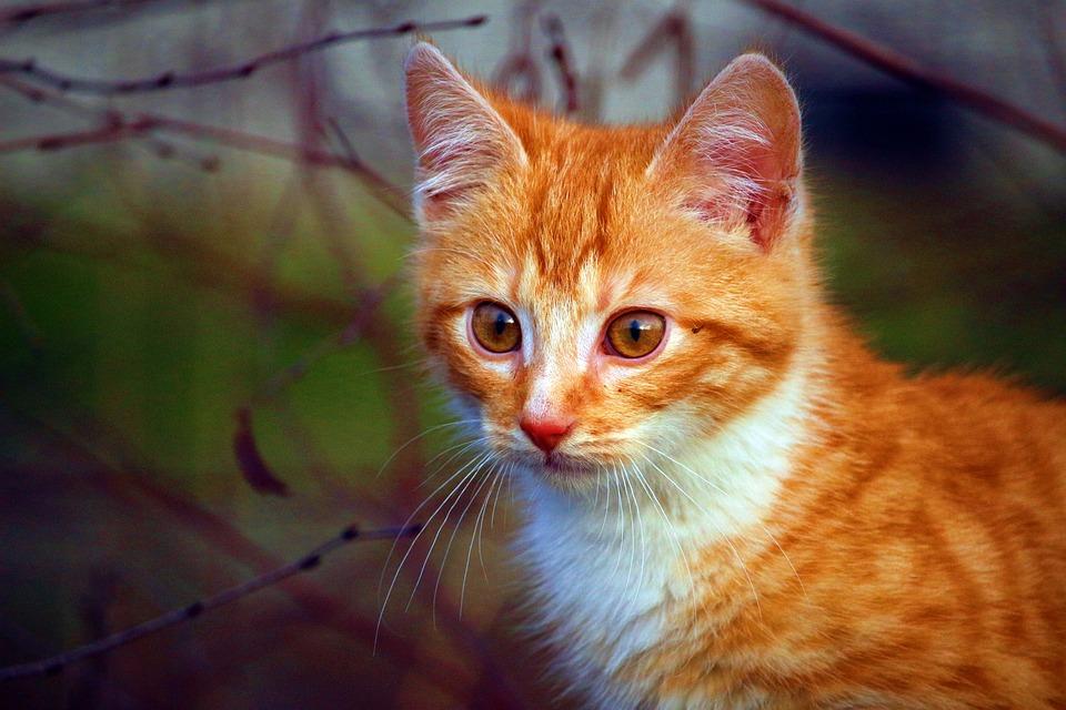 Cat, Kitten, Cat Baby, Red Mackerel Tabby, Cat Portrait