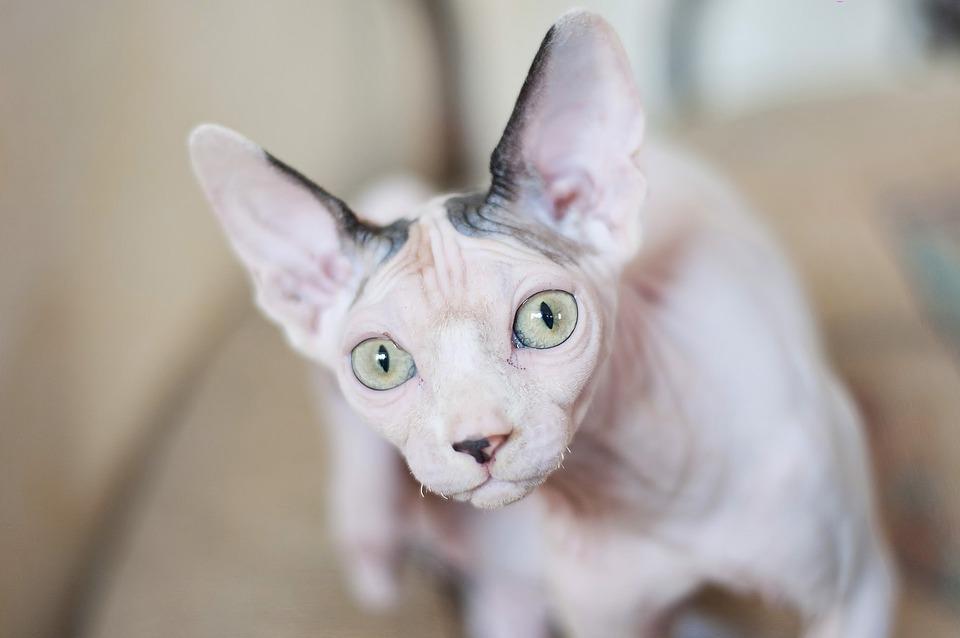 Cat, Sphinx, Portrait