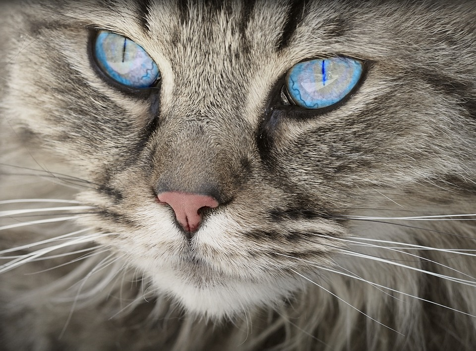 Cat, Animal, Cat Portrait, Cat's Eyes, Tiger Cat