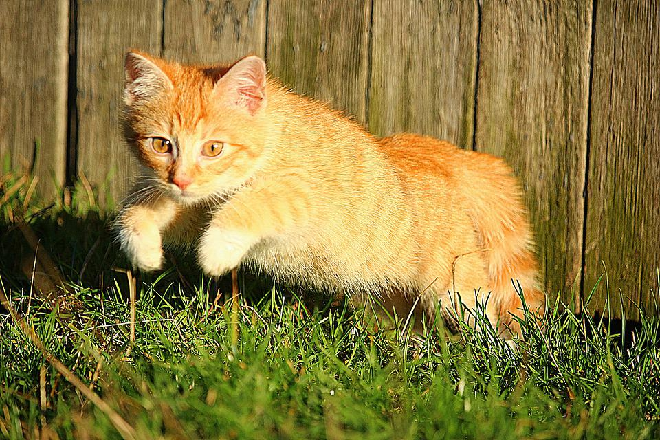 Cat, Jump, Autumn, Grass, Kitten, Red Mackerel Tabby