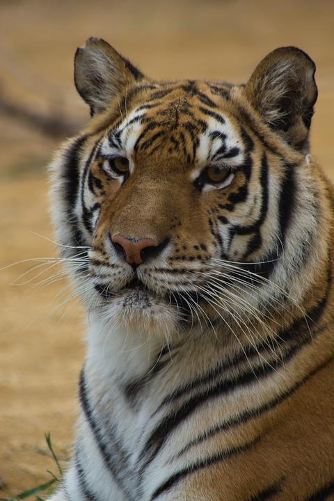 Tiger, Cat, Stripes, Black, Orange, Red, White, Asia