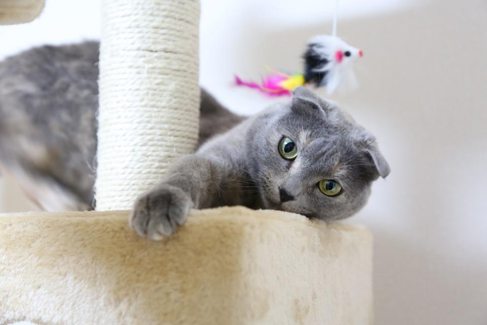 Cat, Scottish Fold, Cat Tower, Kitten, Domestic Cat